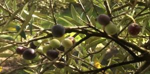 olivenzweig-mallorca-magellan-bremen